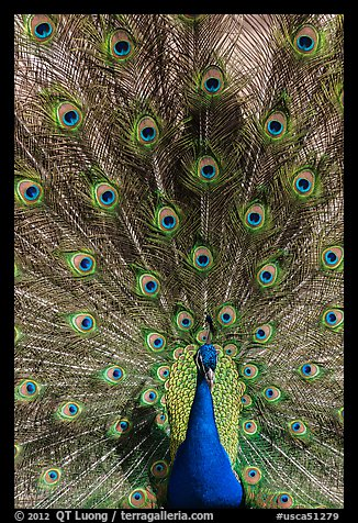 Peafowl fanning its tail, Ardenwood farm, Fremont. California, USA (color)