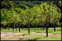 Orchard in spring, John Muir National Historic Site. Martinez, California, USA (color)