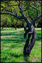 Fruit Orchard, John Muir National Historic Site. Martinez, California, USA ( color)