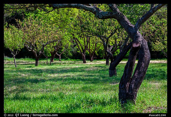 John Muir family farm orchard, John Muir National Historic Site. Martinez, California, USA (color)