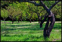 John Muir family farm orchard, John Muir National Historic Site. Martinez, California, USA ( color)