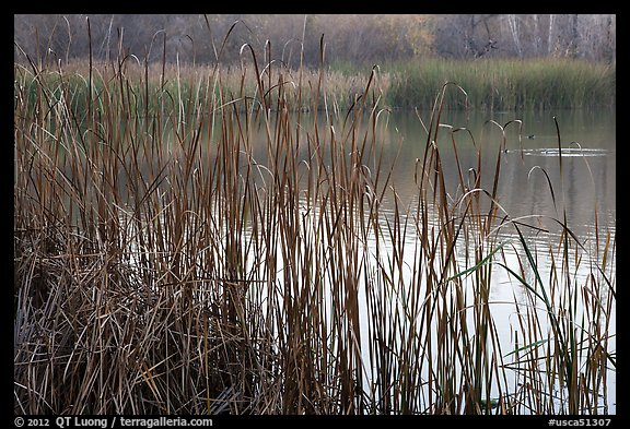 Reeds, Jordan Pond, Garin Regional Park. California, USA (color)