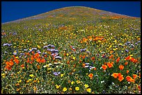 Multicolored flowers and hill, Gorman Hills. California, USA ( color)
