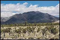 Joshua tree forest and Ivanpah Mountains. Mojave National Preserve, California, USA ( color)