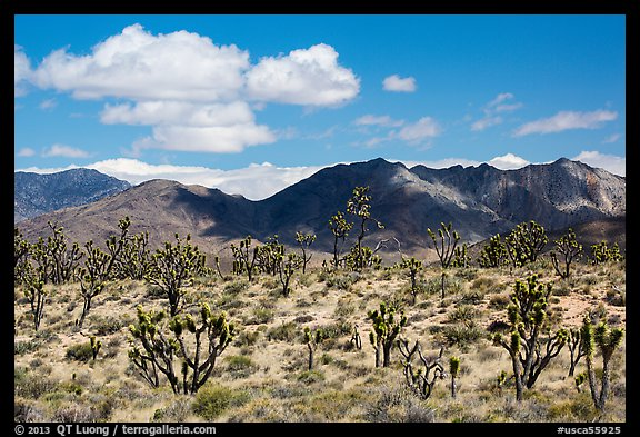 Joshua trees and Ivanpah Mountains. Mojave National Preserve, California, USA (color)