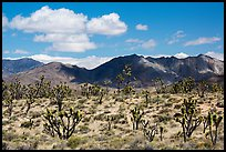 Joshua trees and Ivanpah Mountains. Mojave National Preserve, California, USA ( color)