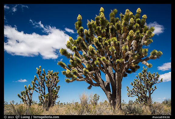 Joshua tree with many branches in bloom. Mojave National Preserve, California, USA (color)