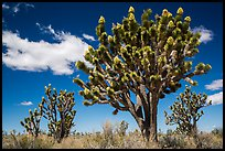 Joshua tree with many branches in bloom. Mojave National Preserve, California, USA ( color)