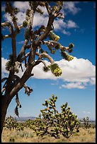 Joshua tree flowering. Mojave National Preserve, California, USA ( color)