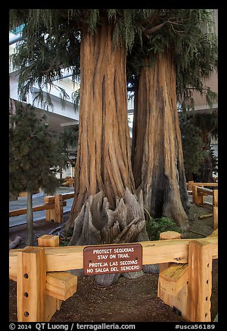 Sequoias, Fresno Yosemite Airport. California, USA (color)