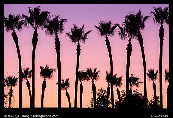 Palm trees at sunset. Los Angeles, California, USA (color)