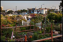 Community gardens. Santa Monica, Los Angeles, California, USA ( color)