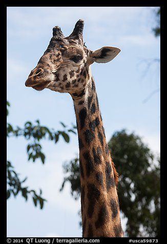 Giraffe, San Diego Zoo. San Diego, California, USA (color)