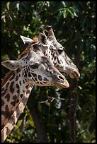 Giraffes, San Diego Zoo. San Diego, California, USA ( color)