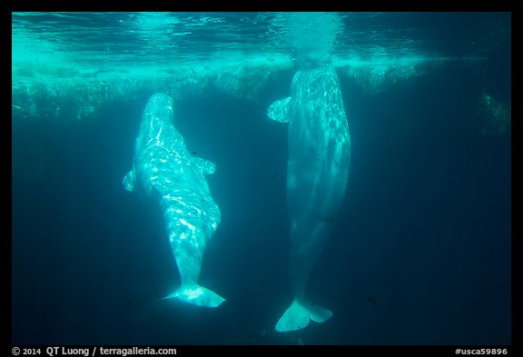 Pair of beluga whales underwater. SeaWorld San Diego, California, USA (color)