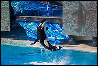 Killer Whale jumping. SeaWorld San Diego, California, USA ( color)