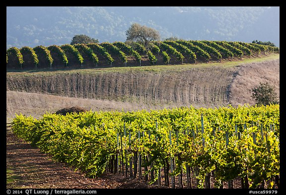 Rolling hills and Vineyards, Santa Barbara Wine country. California, USA (color)