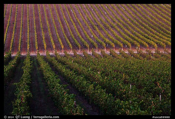 Rows of wine grapes, Santa Barbara Wine country. California, USA (color)