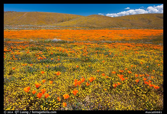 California poppies and goldfieds. Antelope Valley, California, USA (color)