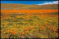 California poppies and goldfieds. Antelope Valley, California, USA ( color)