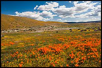 Carpet of California poppies and goldfieds. Antelope Valley, California, USA ( color)