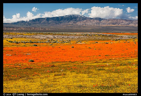 Dense patches of goldfieds and California poppies. Antelope Valley, California, USA (color)