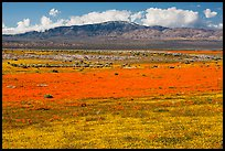 Dense patches of goldfieds and California poppies. Antelope Valley, California, USA ( color)