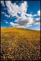 Hill with goldfield flowers and a few poppies. Antelope Valley, California, USA ( color)