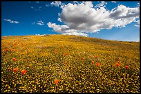Hill solidly covered with goldfield flowers and a few poppies. Antelope Valley, California, USA ( color)