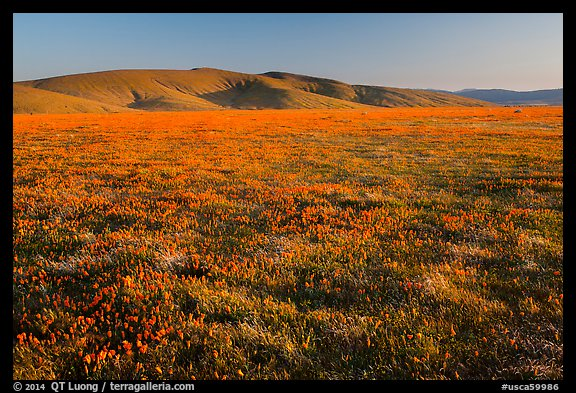 Field of closed poppies near sunset. Antelope Valley, California, USA (color)