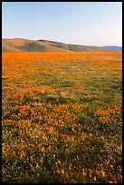 Field of closed poppies at sunset. Antelope Valley, California, USA ( color)