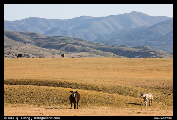 Cattle and Temblor Range. California, USA (color)