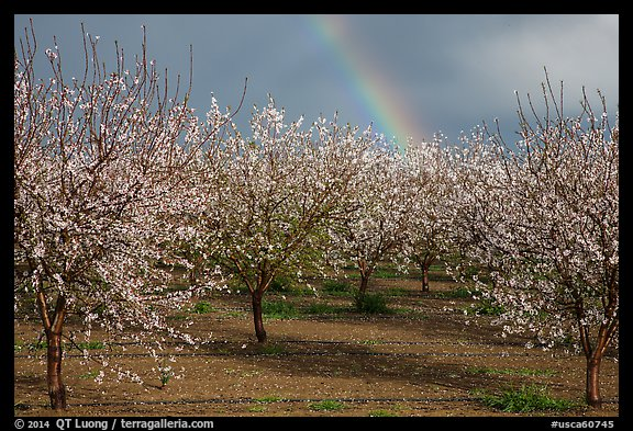 Orchard in bloom and rainbow. California, USA (color)