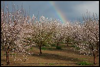 Orchard in bloom and rainbow. California, USA ( color)