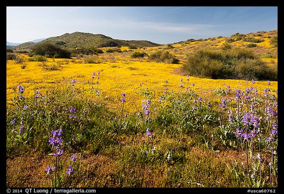 Spring wildflowers on hills. Carrizo Plain National Monument, California, USA (color)