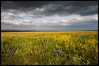 Grassland with wildflowers and storm clouds. Carrizo Plain National Monument, California, USA ( color)