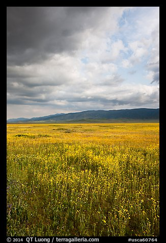 Wildflowers in meadow and Temblor Range. Carrizo Plain National Monument, California, USA (color)