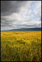 Wildflowers in meadow and Temblor Range. Carrizo Plain National Monument, California, USA ( color)