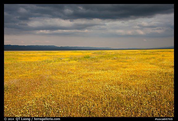 Grassland in bloom under dark sky. Carrizo Plain National Monument, California, USA (color)