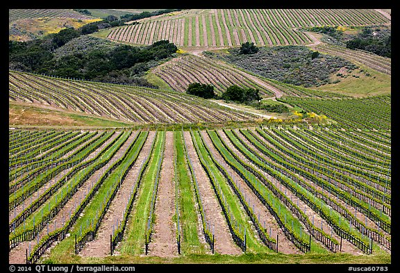 Vineyard. California, USA (color)