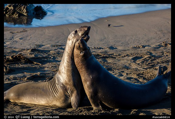 Female elephant seals (Mirounga angustirostris), Piedras Blancas. California, USA (color)