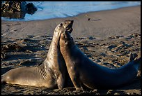 Female elephant seals (Mirounga angustirostris), Piedras Blancas. California, USA ( color)