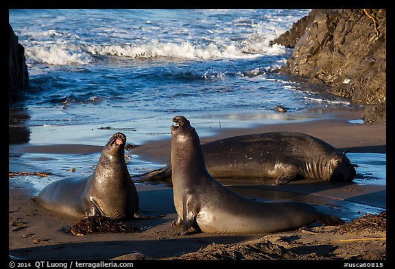 Elephant seals on beach, Piedras Blancas. California, USA (color)