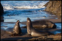 Elephant seals on beach, Piedras Blancas. California, USA ( color)