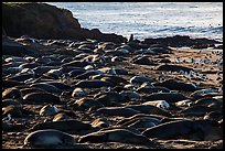 Elephant seal Rookery, Piedras Blancas. California, USA ( color)