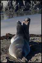 Pair of female earless seals, Piedras Blancas. California, USA ( color)