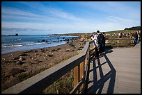 Visitors observe Piedras Blancas seal rookery from boardwalk. California, USA ( color)