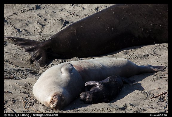Pup, female, and part of male elephant seal, Piedras Blancas. California, USA (color)