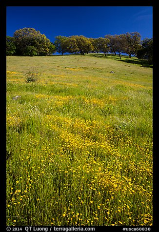 Wildflowers, grasses, and oaks, Pacheco State Park. California, USA (color)