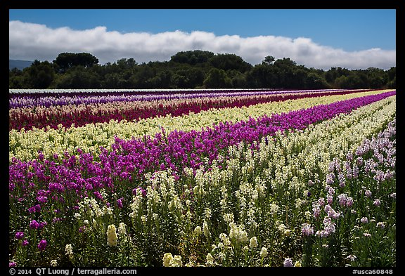 Flower fields. Lompoc, California, USA (color)
